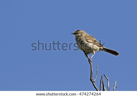 Brown Songlark (Cincloramphus cruralis) Maree, South Australia, Australia