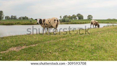 Brown spotted sheep on top of a dike curiously looking at the photographer. - stock photo