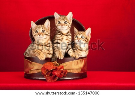 Brown spotted tabby Bengal kittens sitting in round box container on red background  - stock photo