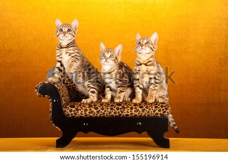 Brown spotted tabby Bengal kittens sitting on miniature chaise sofa on gold background - stock photo