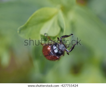 Brown Spruce Longhorn Beetle (Tetropium fuscum) macro. - stock photo