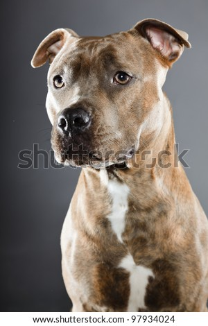 Brown staffordshire terrier isolated on grey background. Studio portrait. - stock photo