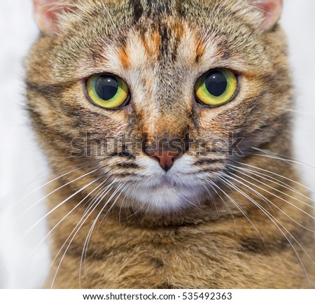 Brown striped domestic playful cat portrait on white background