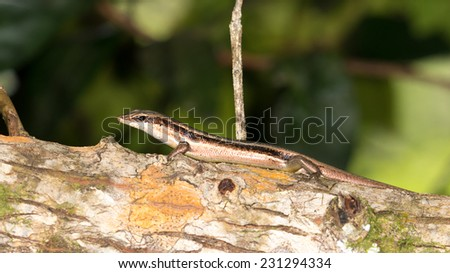 brown striped lizard sitting on a tree in the Seychelles