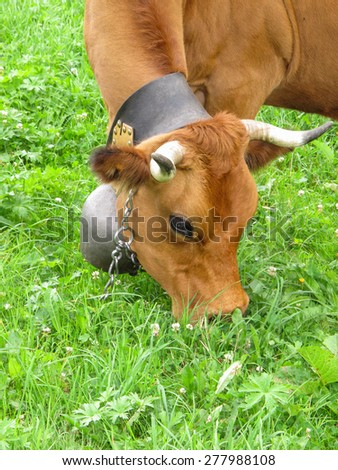 Brown Swiss cow with traditional cow bell on a leather strap - stock photo