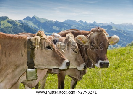 brown swiss cows on mountain pasture in Switzerland - stock photo