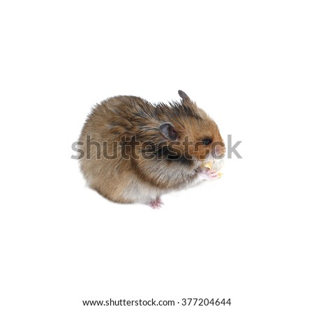 Brown Syrian hamster eating isolated on white background