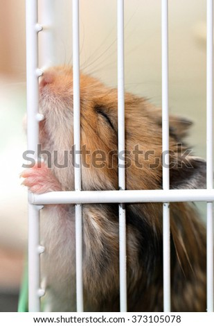 Brown Syrian hamster gnaws inside a cage, eager to freedom - stock photo