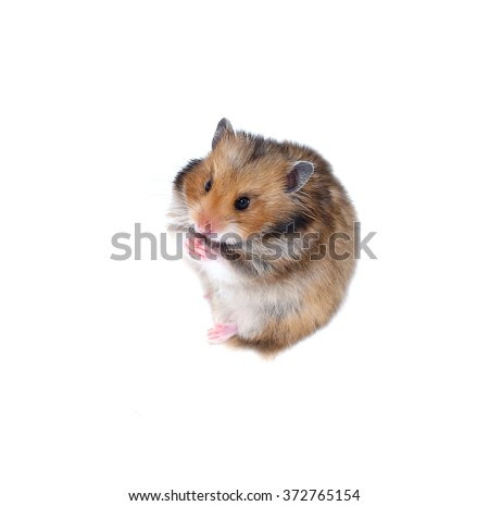 Brown Syrian hamster stands on his hind legs and pinche the nose by paws isolated on a white background