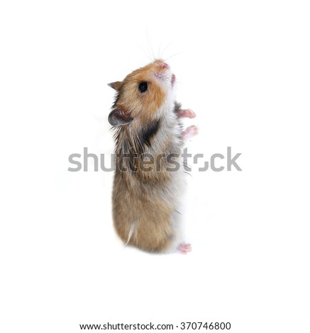Brown Syrian hamster stands on his hind paws isolated on a white background - stock photo