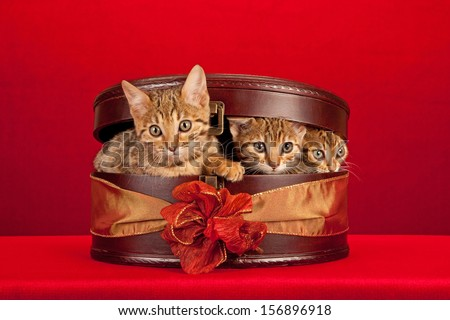 Brown tabby Bengal kittens hiding in wooden oval gift box on red background with fancy bow - stock photo