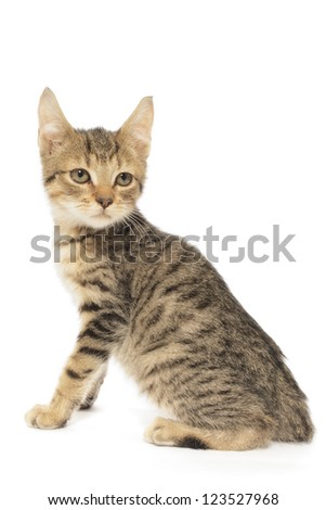 Brown Tabby Cat, Felis Catus, Isolated on White