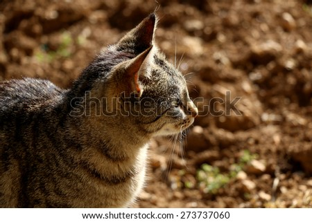 Brown tabby cat in the garden, head close-up. Defocused brown soil in the background. Natural light, selective focus. - stock photo