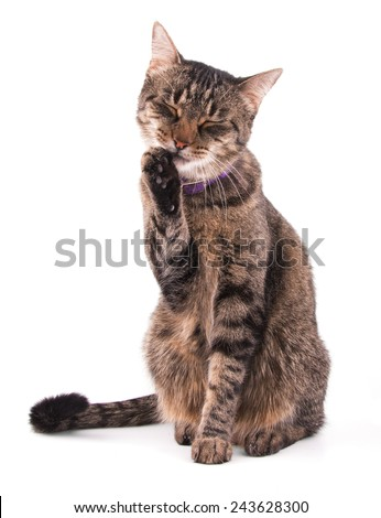 Brown tabby cat licking her paw on white - stock photo