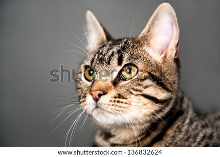 Brown Tabby Cat Looking at Something - stock photo