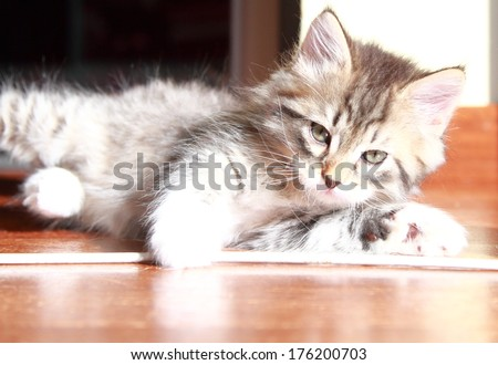 brown tabby cat of siberian breed at two months