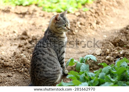 Brown tabby cat sitting in the garden around the vegetables. Natural light, selective focus.  - stock photo