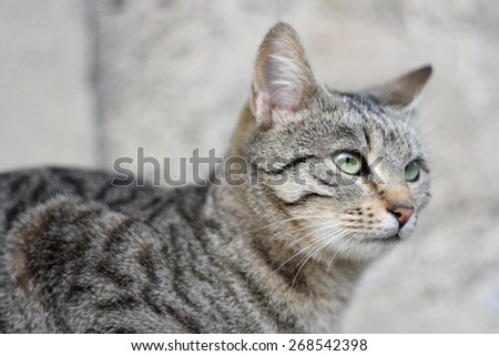 Brown tabby cat with beautiful green eyes. Head close-up and selective focus. - stock photo