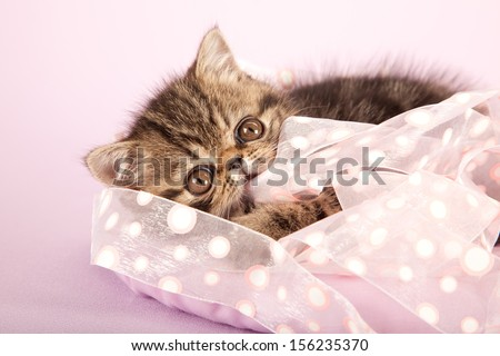 Brown tabby Exotic kitten hiding behind and biting into pink ribbon on lilac pink background - stock photo