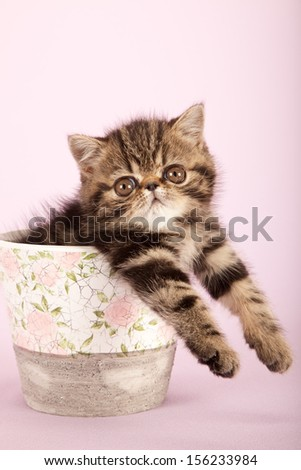 Brown tabby exotic kitten sitting inside pot vase on pink lilac background - stock photo