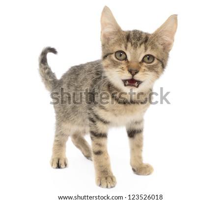 Brown Tabby kitten, Felis catus, isolated on White - stock photo