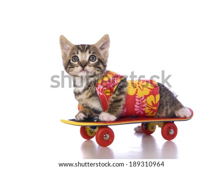 Brown tabby kitten lying on skateboard wearing colorful Hawaiian shirt isolated on white