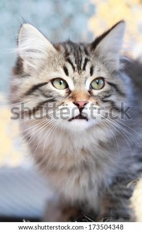 brown tabby kitten, siberian breed at three months - stock photo