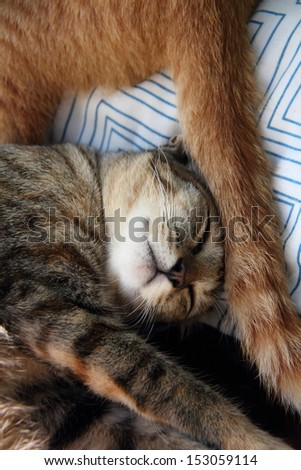 Brown tabby kitten with another cat's tail on her head