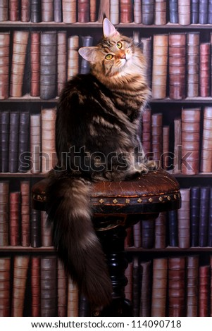 Brown Tabby Maine Coon cat in library - stock photo