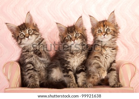 Brown tabby Maine Coon kittens sitting on pink couch on pink background - stock photo