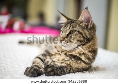 Brown Tabby Maine Coon on bed - stock photo