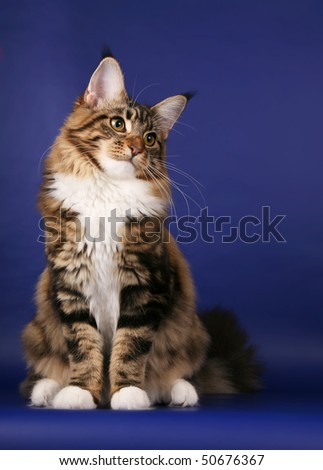 Brown tabby Maine Coon sitting on dark blue background - stock photo