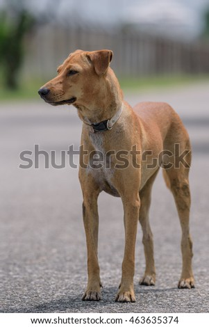 brown thai dog  stand on street