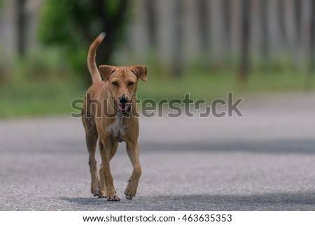 brown thai dog  walk on road side