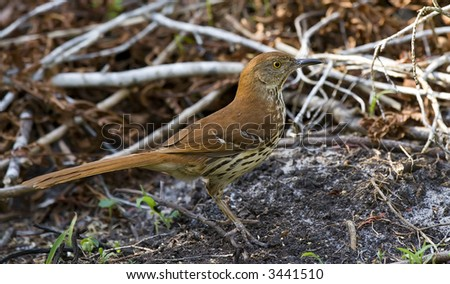 Brown Thrasher looking for food.