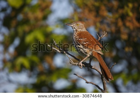 Brown Thrasher (Toxostoma rufum rufum), sitting in tree near nest.