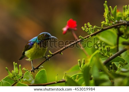 Brown-throated sunbird male eating flower and close up in the nature.