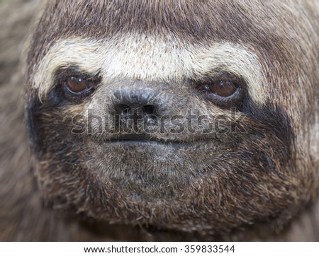 Brown-throated Three-toed Sloth (Bradypus variegatus) portrait, Pacaya Samiria National Reserve, Yanayacu River, Amazon area, Peru - stock photo