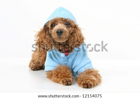 Brown toy poodle with classic grooming in a blue sweater