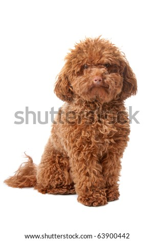 Brown toy poodle with classic grooming in a pose - stock photo