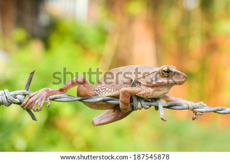 brown tree frog perched on barbed wire - stock photo