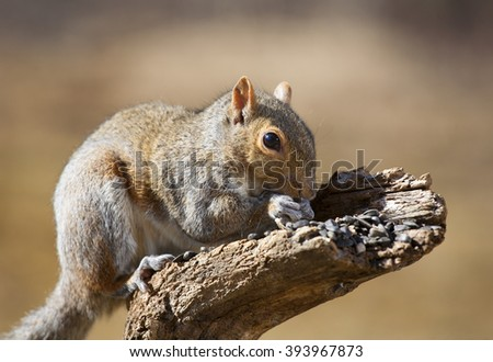 Brown tree squirrel on a log eating a bunch of sunflower seeds