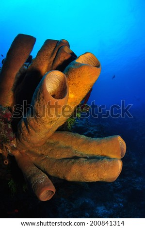 Brown Tube Sponges in the blue, Grand Cayman - stock photo
