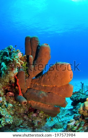 Brown Tube Sponges on the Reef, Grand Cayman, Cayman Islands - stock photo
