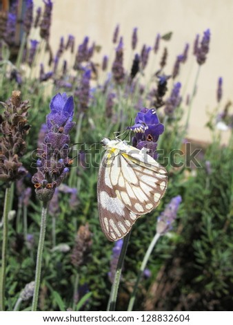 brown-veined white butterfly on lavender