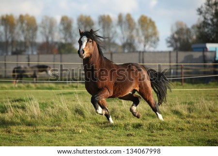 Brown welsh mountain pony stallion with black hair running