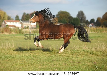 Brown welsh mountain pony stallion with black hair running on pasturage in autumn