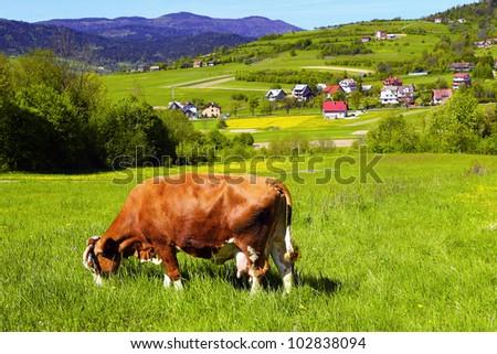 Brown white cow on a farmland - stock photo