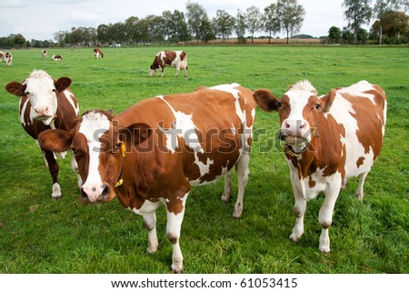 Brown white cows on a farmland - stock photo