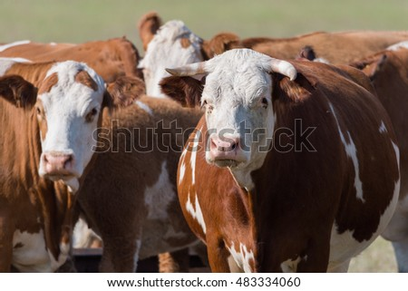 Brown white cows on pasture